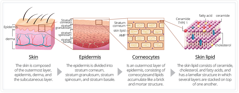 ceramide hyaluronic acid collagen in the skin