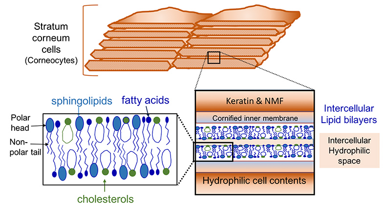 ceramides, cholesterol and fatty acids in the lipid bilayer