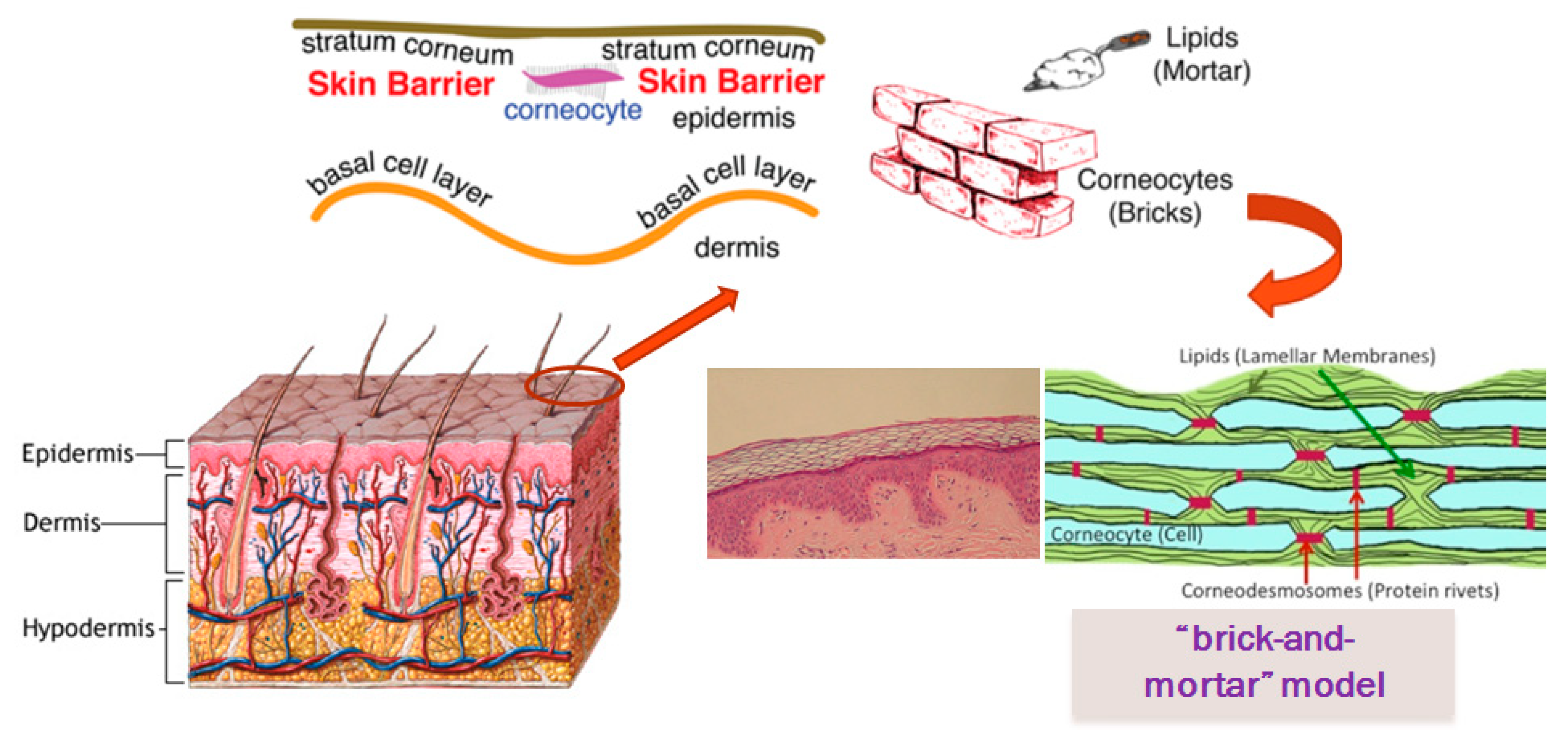 brick and mortar structure of the skin