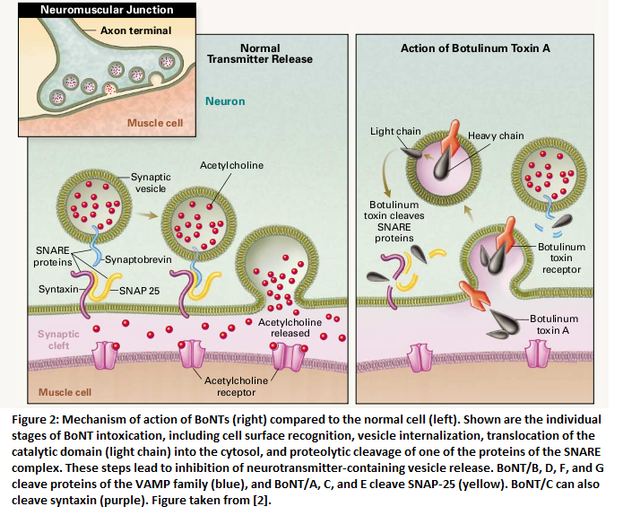 botox at neuromuscular junction